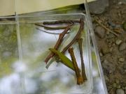 ハグルマトモエの幼虫