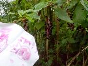 ヨウシュヤマゴボウとその果汁で書いた文字