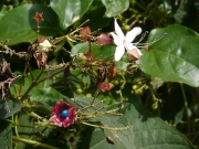 クサギの花と果実