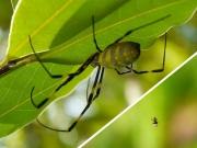 ジョロウグモとシロガネイソウロウグモ