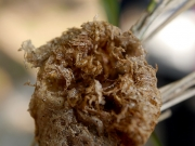カマキリタマゴカツオブシムシ