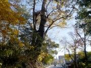 47 豊橋公園のクロマツ2