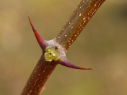ニセアカシアの葉痕