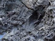 副蹄も確認できるイノシシの足跡