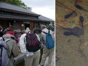 ヤマアカガエルとアズマヒキガエルのオタマジャクシを観察