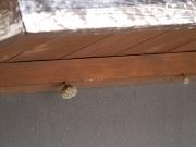 作り始めのアシナガバチの巣