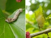 クワゴの幼虫とまゆ