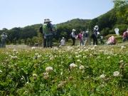 修景庭園前のシロツメクサとニワゼキショウ