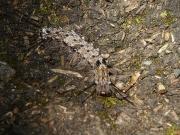 カシワマイマイの幼虫