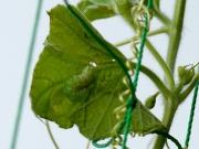 ウリキンウワバの幼虫