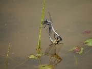 シオカラトンボの交尾