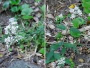 アサギマダラの食草であるサケバヒヨドリとヒヨドリバナ