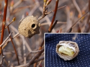 トックリバチの巣と蛹