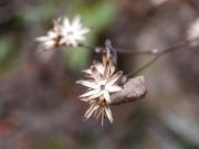 コウヤボウキの総苞