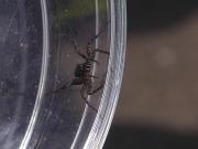 ウヅキコモリグモ