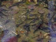 ヤマアカガエルとアズマヒキガエルのオタマジャクシ