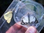 モンキチョウのオスとメス白色型