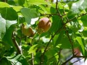 ソシンロウバイの果実