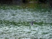 雨の中水浴びをするツバメ