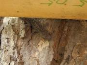 銘板の陰に潜んでいたヤモリ