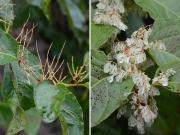 イタドリの雄株と雌株