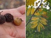 ムクロジの果実と葉