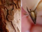 マダラマルハヒロズコガの幼虫