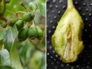 キヅタツボミフクレフシ(キヅタツボミタマバエに寄生されたキヅタの果実)