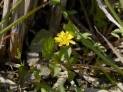コオニタビラコ(春の七草のホトケノザ)