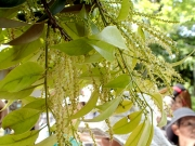 スダジイの花