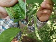 ハマキガの幼虫
