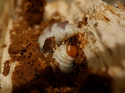 クワガタの幼虫
