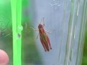 イナゴの赤色変異体
