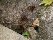 モンスズメバチとのその巣