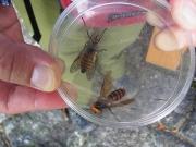 スズメバチとアブ