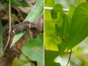 ダイミョウセセリと幼虫巣の跡