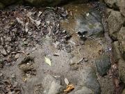 タヌキとみられる足跡と吸水中のモンキアゲハ