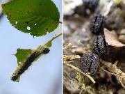 モンクロシャチホコの幼虫とフン