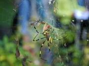 オオツマグロヨコバイを捕食するジョロウグモ
