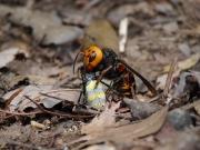 ジョロウグモを捕食するオオスズメバチ