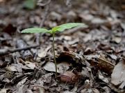 アベマキの幼樹