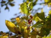 ムクロジの果実