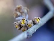 シナマンサクの花の準備