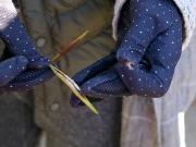 テイカカズラの冬の綿毛