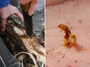 朽木で見つけたゴミムシダマシの幼虫