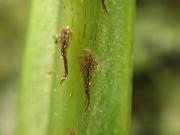 ノキシノブの鱗片