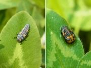テントウムシの幼虫と蛹