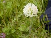 ムラサキツメクサの白花