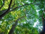 クスノキは樹冠の葉の密度が高い