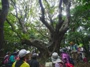 ヤマモモの巨木